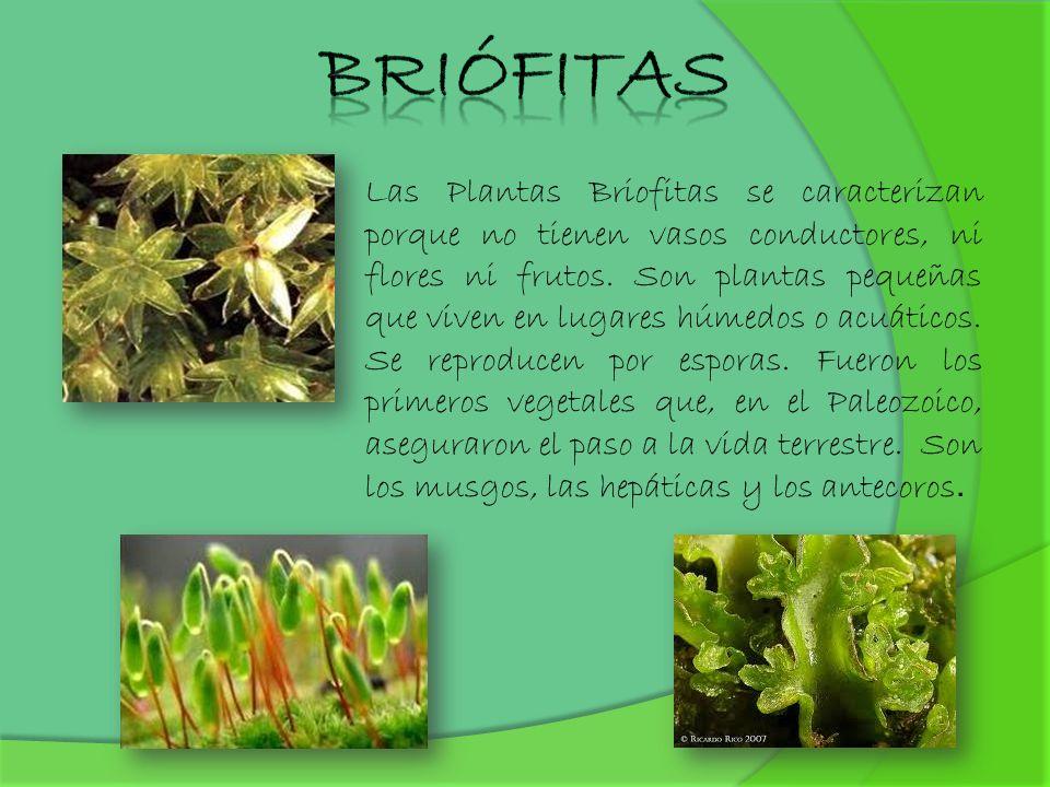 Las Plantas Briofitas se caracterizan porque no tienen vasos conductores, ni flores ni frutos. Son plantas pequeñas que viven en lugares húmedos o acu
