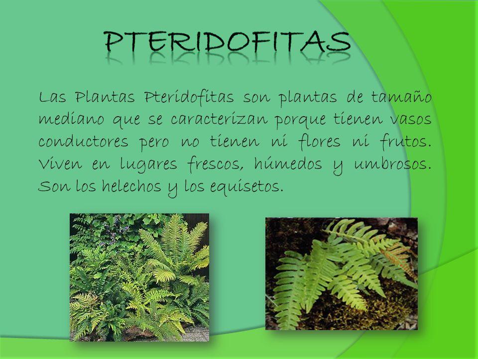 Las Plantas Pteridofitas son plantas de tamaño mediano que se caracterizan porque tienen vasos conductores pero no tienen ni flores ni frutos. Viven e