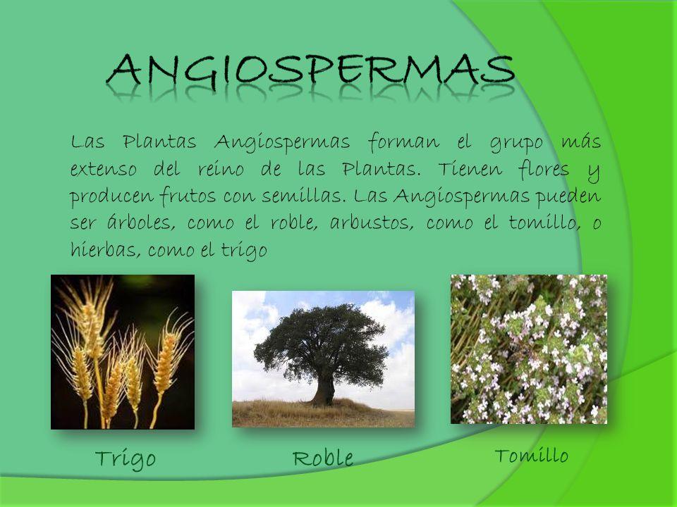 Las Plantas Angiospermas forman el grupo más extenso del reino de las Plantas. Tienen flores y producen frutos con semillas. Las Angiospermas pueden s