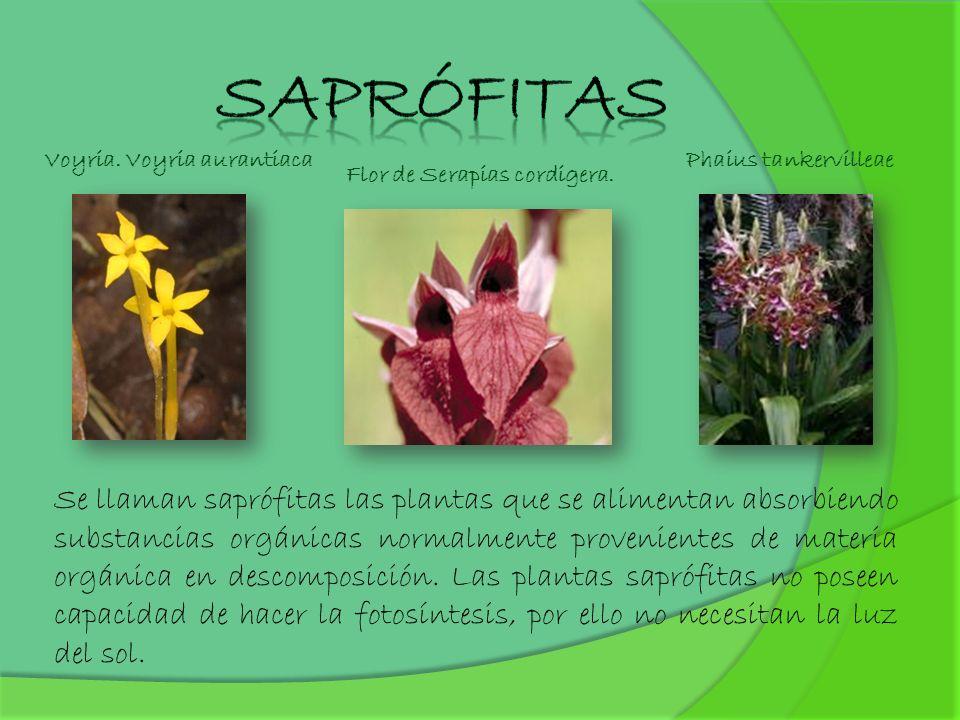 Se llaman saprófitas las plantas que se alimentan absorbiendo substancias orgánicas normalmente provenientes de materia orgánica en descomposición. La
