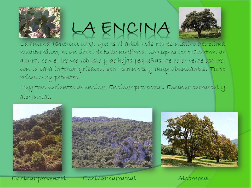 La encina (Quercux ilex), que es el árbol más representativo del clima mediterráneo, es un árbol de talla mediana, no supera los 15 metros de altura,