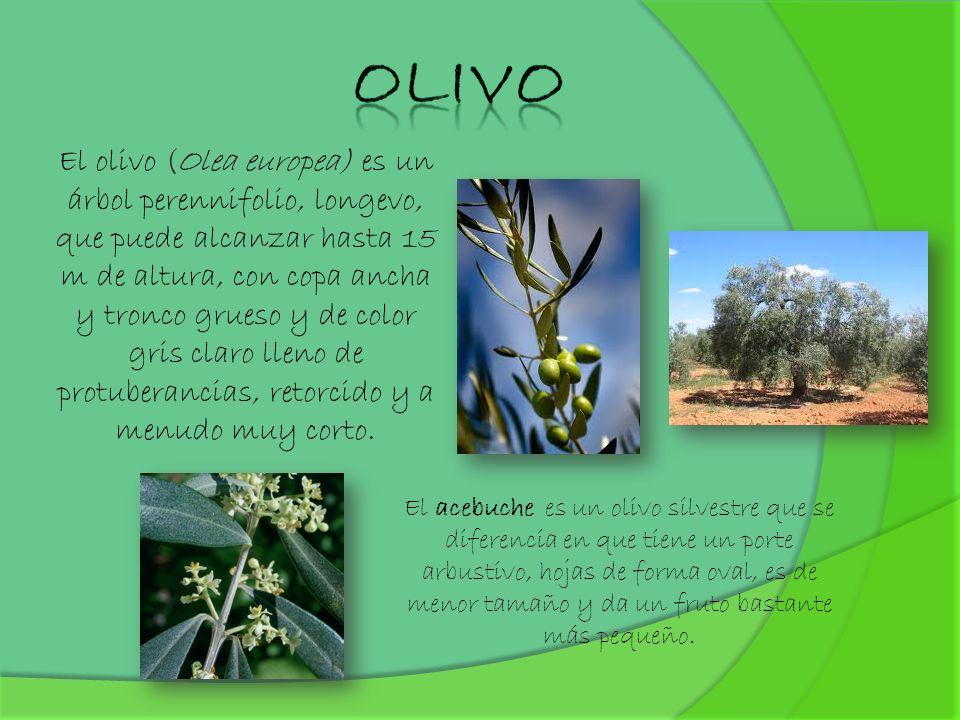 El olivo (Olea europea) es un árbol perennifolio, longevo, que puede alcanzar hasta 15 m de altura, con copa ancha y tronco grueso y de color gris cla