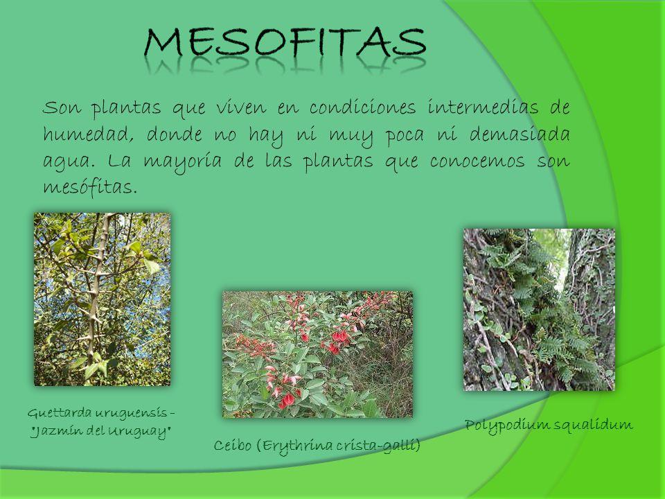 Son plantas que viven en condiciones intermedias de humedad, donde no hay ni muy poca ni demasiada agua. La mayoría de las plantas que conocemos son m
