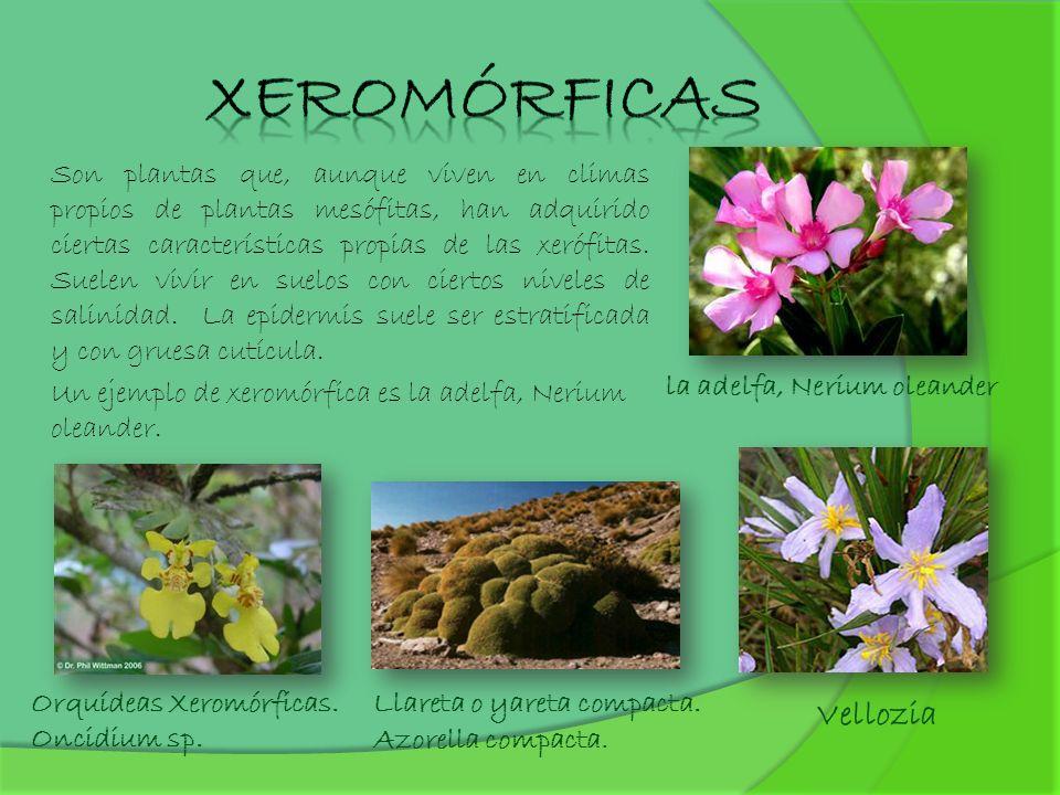 Son plantas que, aunque viven en climas propios de plantas mesófitas, han adquirido ciertas características propias de las xerófitas. Suelen vivir en