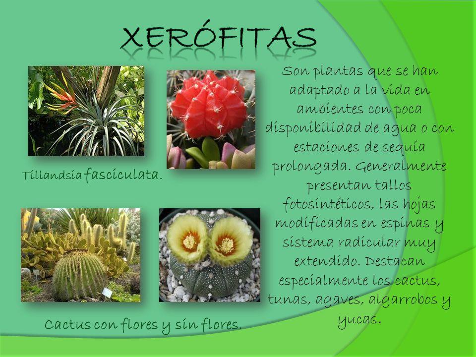 Son plantas que se han adaptado a la vida en ambientes con poca disponibilidad de agua o con estaciones de sequía prolongada. Generalmente presentan t