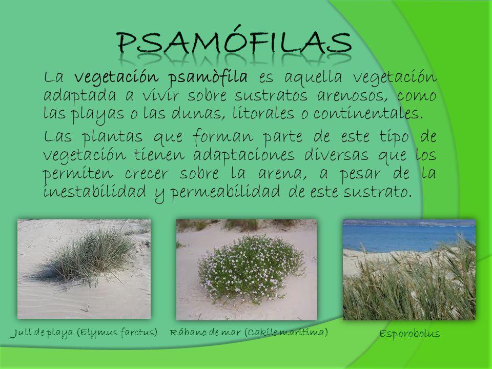 La vegetación psamòfila es aquella vegetación adaptada a vivir sobre sustratos arenosos, como las playas o las dunas, litorales o continentales. Las p