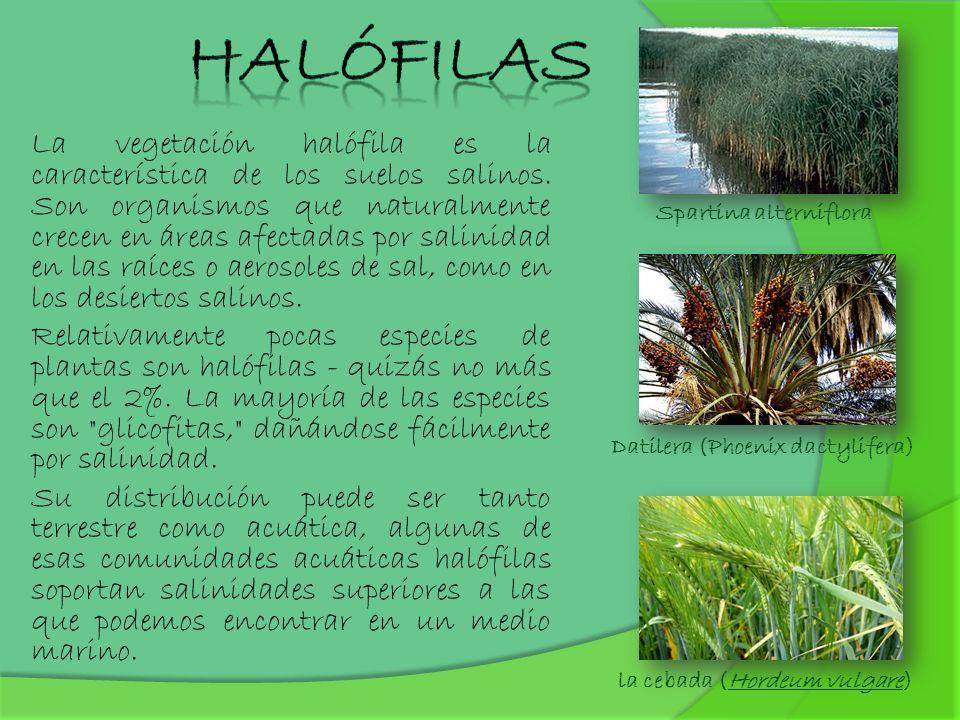 La vegetación halófila es la característica de los suelos salinos. Son organismos que naturalmente crecen en áreas afectadas por salinidad en las raíc
