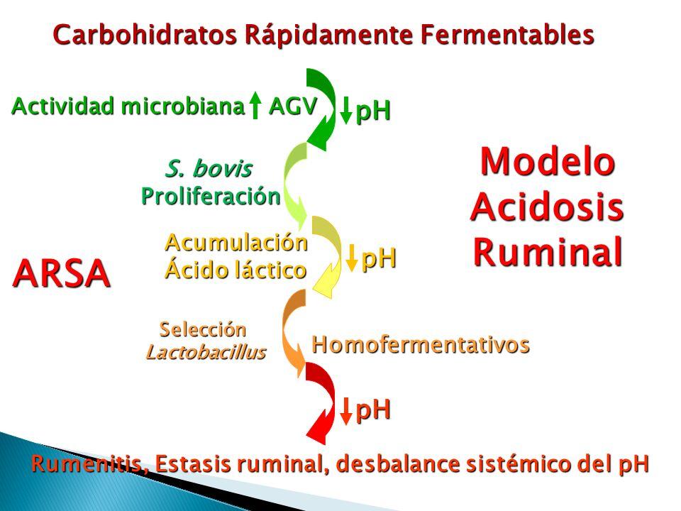 Carbohidratos Rápidamente Fermentables AGV pH S. bovis Proliferación Acumulación Ácido láctico pH SelecciónLactobacillus pH Homofermentativos Rumeniti