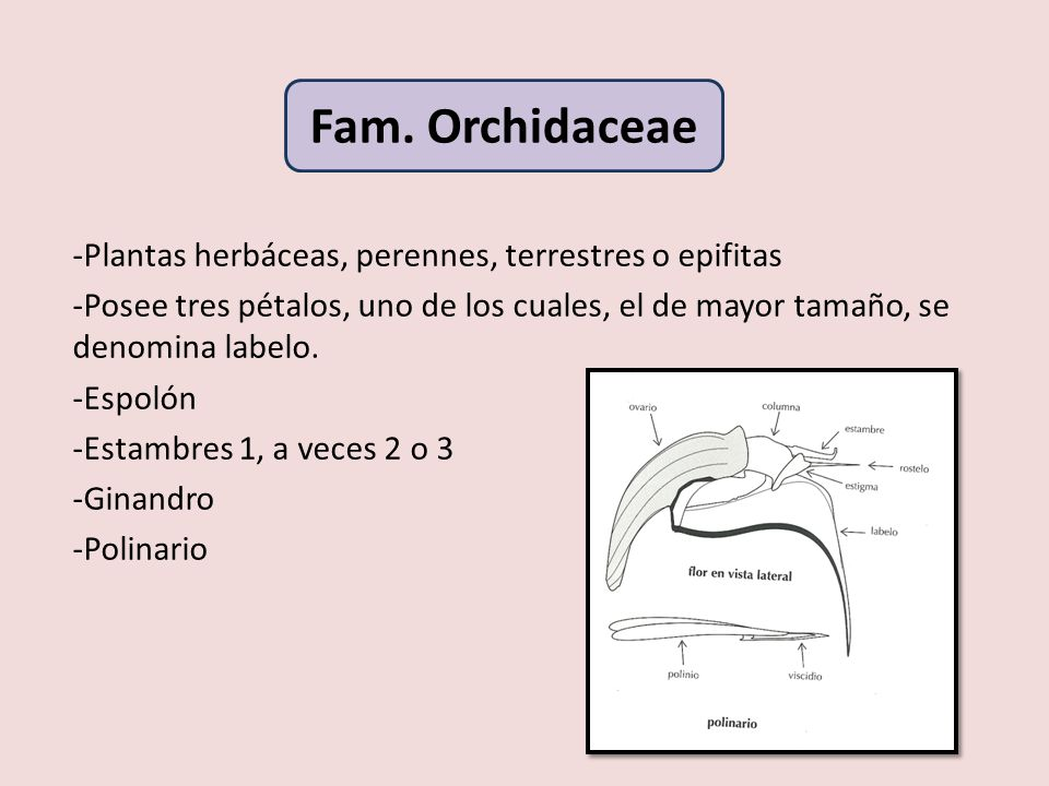 -Plantas herbáceas, perennes, terrestres o epifitas -Posee tres pétalos, uno de los cuales, el de mayor tamaño, se denomina labelo. -Espolón -Estambre