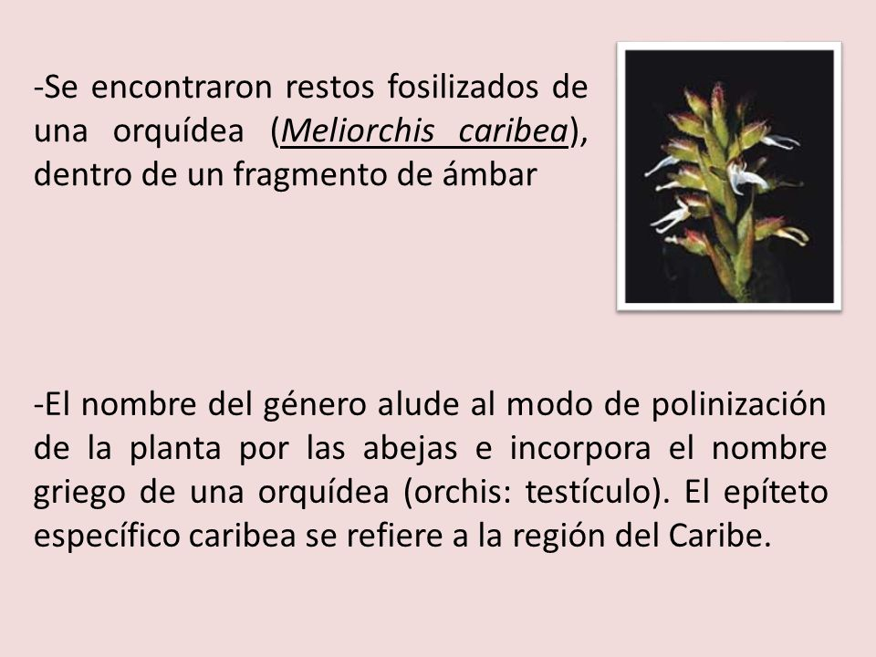 -Se encontraron restos fosilizados de una orquídea (Meliorchis caribea), dentro de un fragmento de ámbar -El nombre del género alude al modo de polini