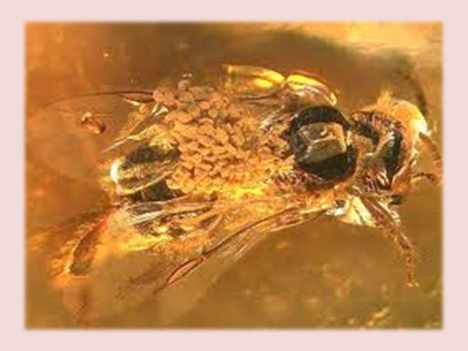 -El polen se encontró en el tórax de una Abeja obrera (Problebeia dominicana). Estos estaban dispuestos en forma de paquete, demostrando que era recol