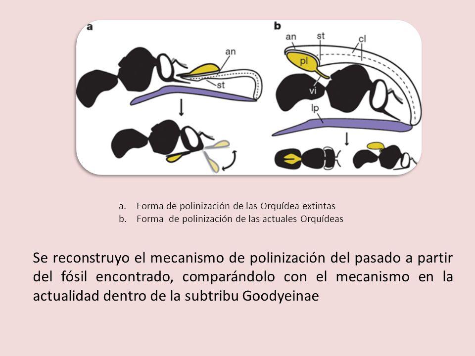 a.Forma de polinización de las Orquídea extintas b.Forma de polinización de las actuales Orquídeas Se reconstruyo el mecanismo de polinización del pas