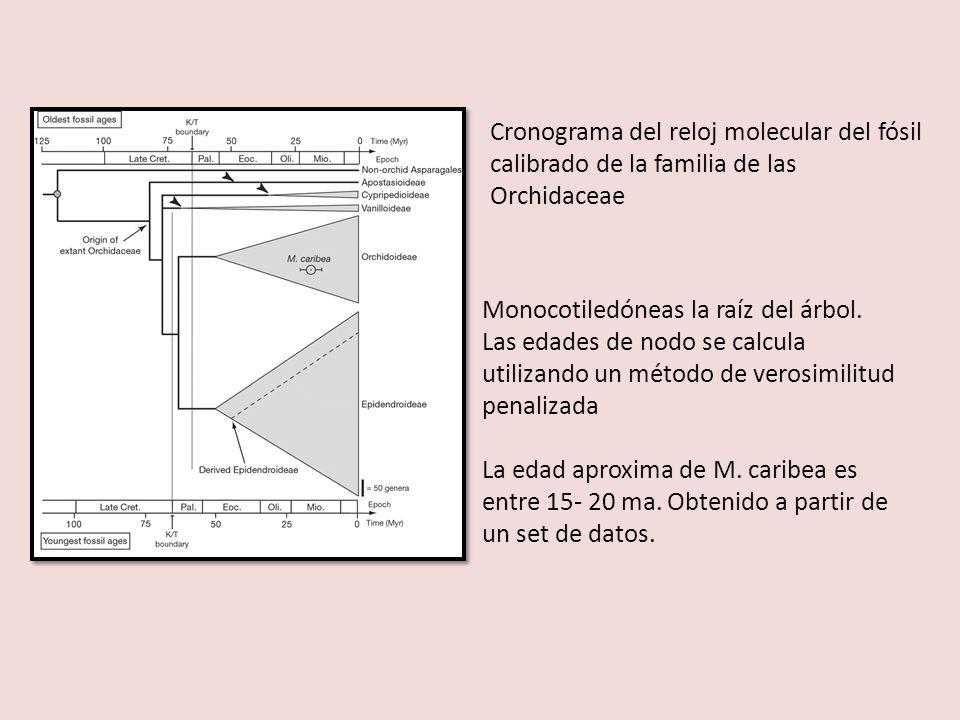 Cronograma del reloj molecular del fósil calibrado de la familia de las Orchidaceae Monocotiledóneas la raíz del árbol. Las edades de nodo se calcula