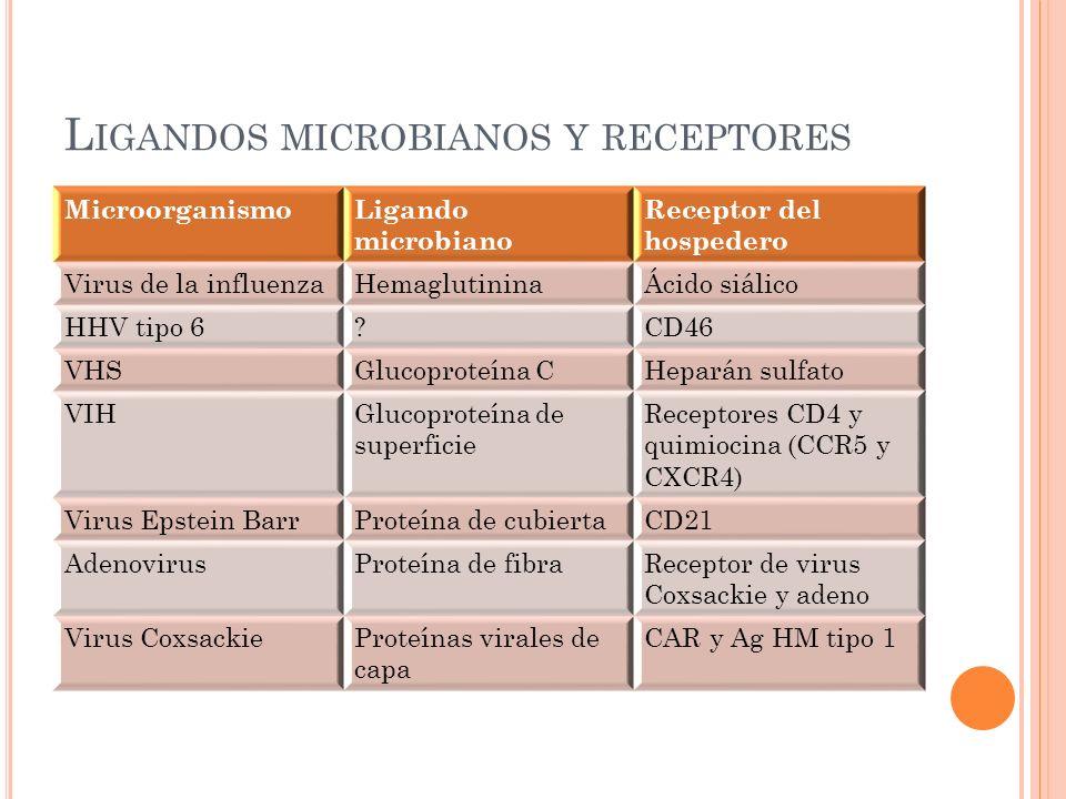 L IGANDOS MICROBIANOS Y RECEPTORES MicroorganismoLigando microbiano Receptor del hospedero Virus de la influenzaHemaglutininaÁcido siálico HHV tipo 6?