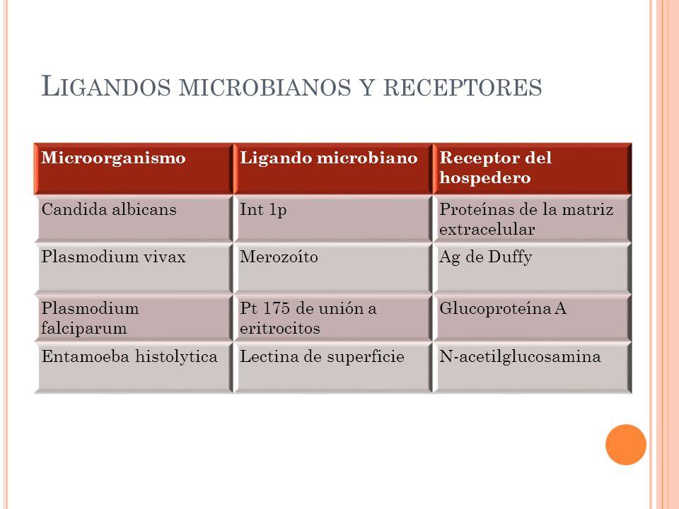 L IGANDOS MICROBIANOS Y RECEPTORES MicroorganismoLigando microbianoReceptor del hospedero Candida albicansInt 1pProteínas de la matriz extracelular Pl