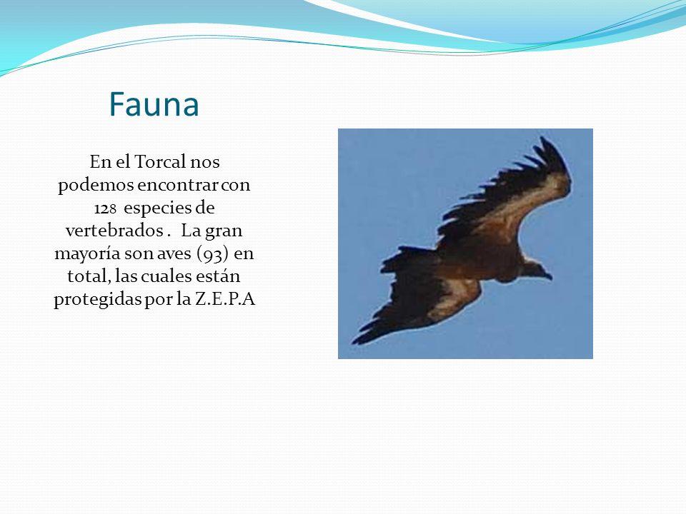 Fauna En el Torcal nos podemos encontrar con 12 8 especies de vertebrados.