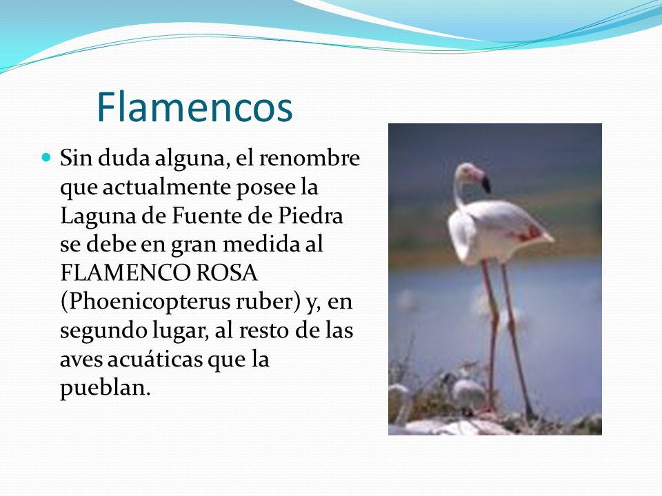 Flamencos Sin duda alguna, el renombre que actualmente posee la Laguna de Fuente de Piedra se debe en gran medida al FLAMENCO ROSA (Phoenicopterus ruber) y, en segundo lugar, al resto de las aves acuáticas que la pueblan.
