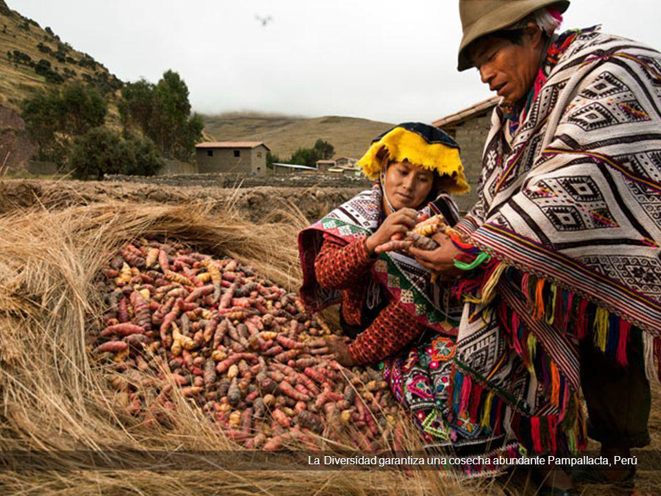 La Diversidad garantiza una cosecha abundante Pampallacta, Perú La Diversidad garantiza una cosecha abundante Pampallacta, Perú