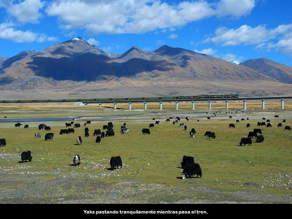 Otros animales salvajes como los osos y los asnos salvajes se han adaptado con éxito a la presencia de la línea de ferrocarril.
