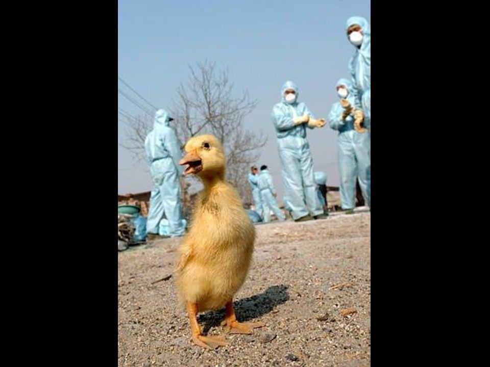 Cuando en 2005 la Organización Mundial de la Salud (OMS) pronosticó que podrían morir de gripe aviar hasta 150 millones de personas, se desató el páni