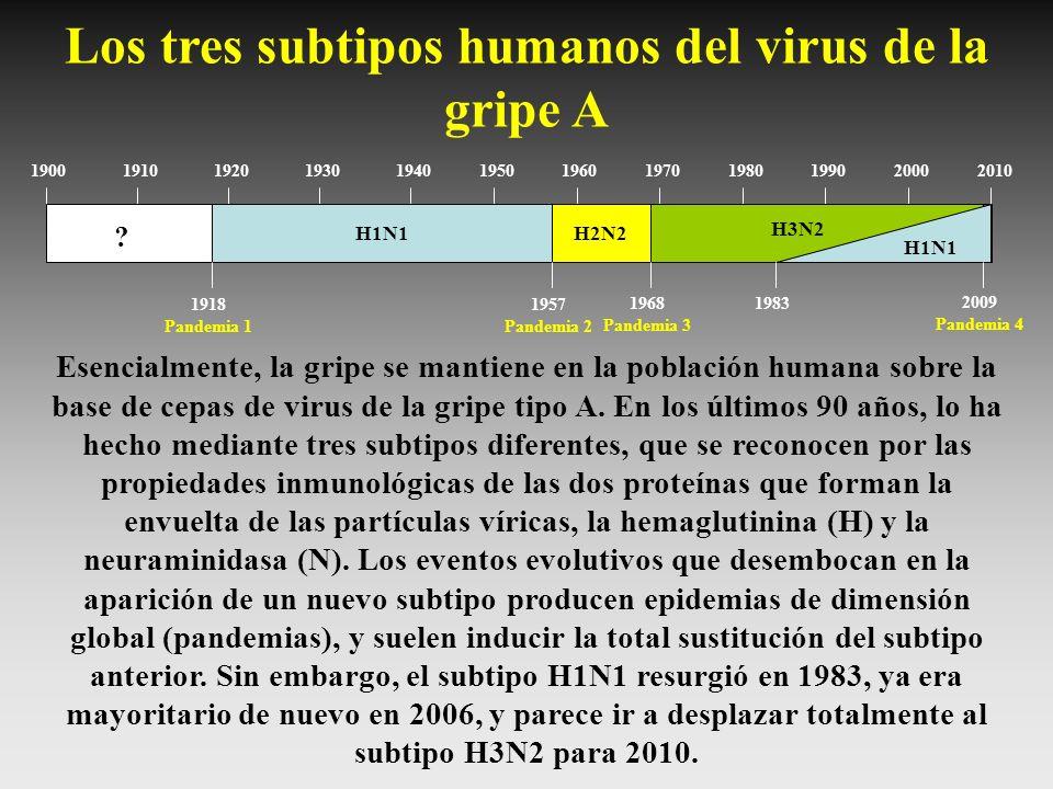 190019101920193019401950196019701980199020002010 H1N1H2N2 H3N2 H1N1 ? 1918 Pandemia 1 1957 Pandemia 2 1968 Pandemia 3 1983 Los tres subtipos humanos d