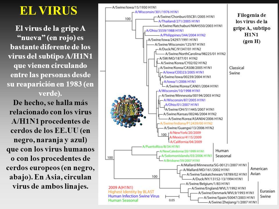 Filogenia de los virus de la gripe A, subtipo H1N1 (gen H) EL VIRUS El virus de la gripe A nueva (en rojo) es bastante diferente de los virus del subt