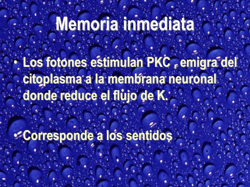 Los fotones estimulan PKC, emigra del citoplasma a la membrana neuronal donde reduce el flujo de K.