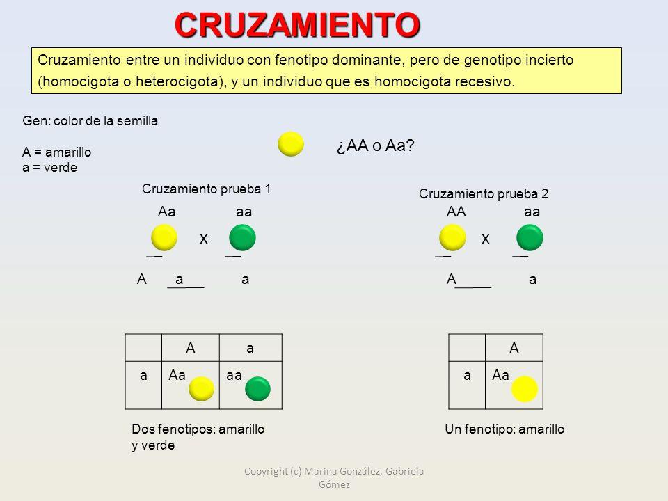 CRUZAMIENTO PRUEBA Gen: color de la semilla A = amarillo a = verde Cruzamiento entre un individuo con fenotipo dominante, pero de genotipo incierto (homocigota o heterocigota), y un individuo que es homocigota recesivo.