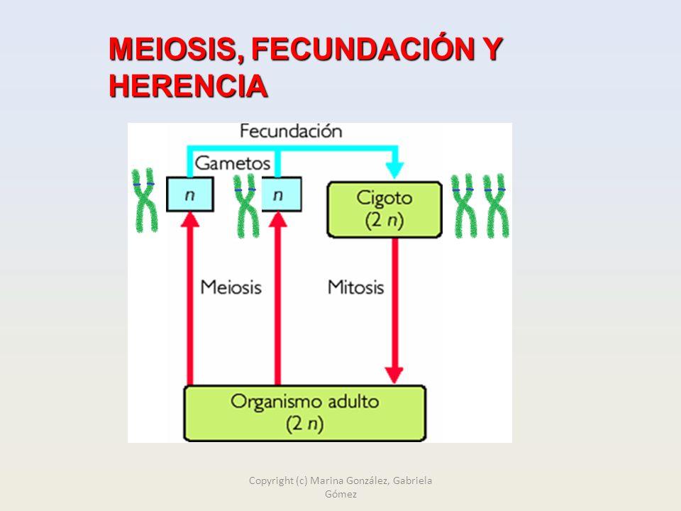 MEIOSIS, FECUNDACIÓN Y HERENCIA Copyright (c) Marina González, Gabriela Gómez