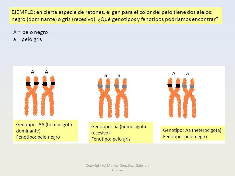 EJEMPLO: en cierta especie de ratones, el gen para el color del pelo tiene dos alelos: negro (dominante) o gris (recesivo).