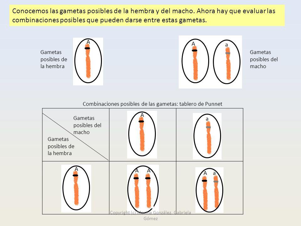 Conocemos las gametas posibles de la hembra y del macho.