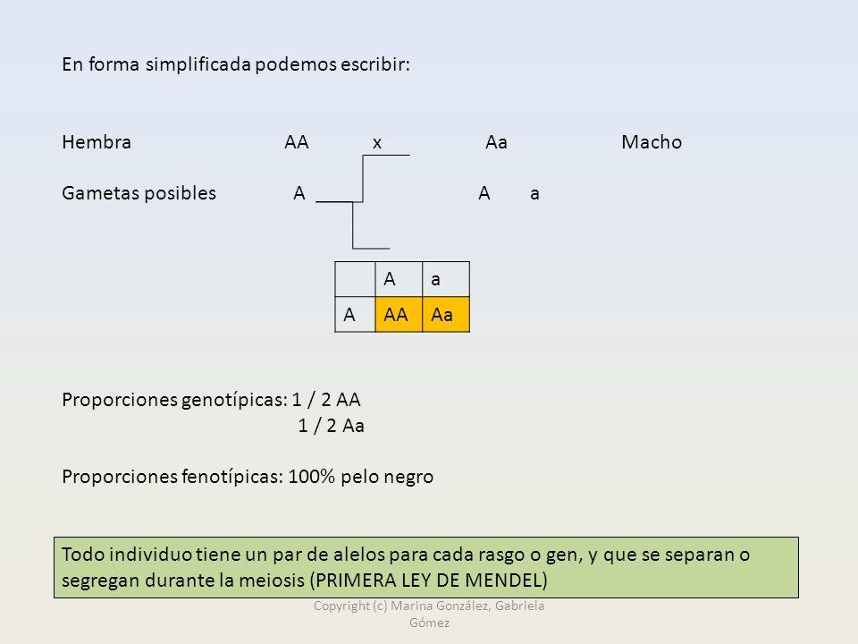En forma simplificada podemos escribir: Hembra AA x Aa Macho Gametas posibles A A a Proporciones genotípicas: 1 / 2 AA 1 / 2 Aa Proporciones fenotípicas: 100% pelo negro Aa AAAAa Todo individuo tiene un par de alelos para cada rasgo o gen, y que se separan o segregan durante la meiosis (PRIMERA LEY DE MENDEL) Copyright (c) Marina González, Gabriela Gómez