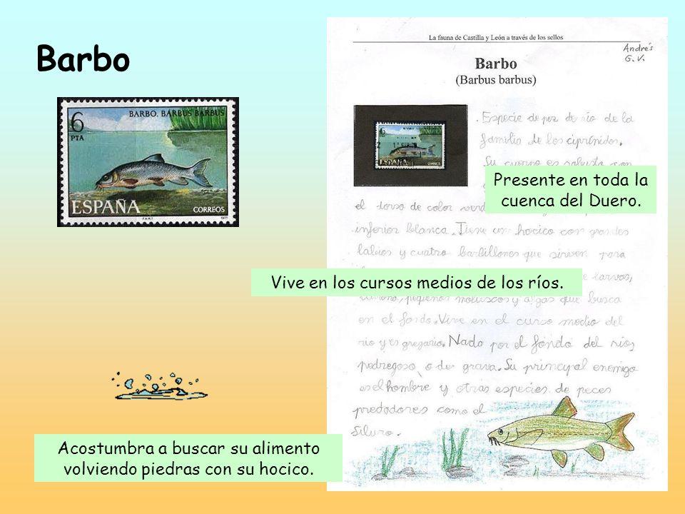 Cabra montés Habita en praderas y zonas rocosas de alta montaña. Es el emblema de la Sierra de Gredos. Come todo tipo de plantas.