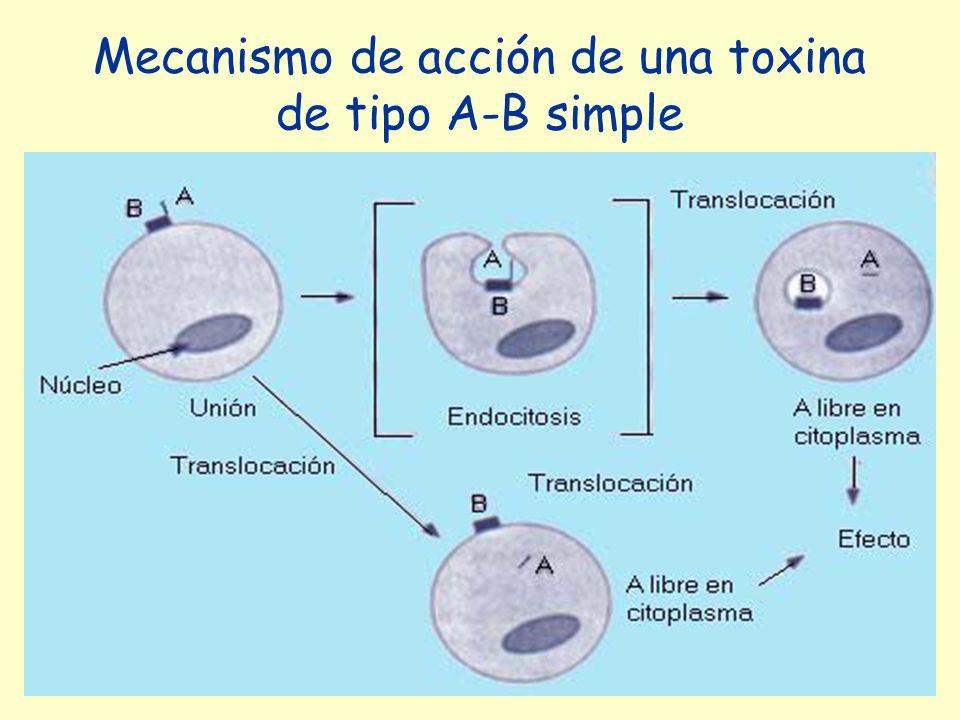 Mecanismo de acción de una toxina de tipo A-B simple