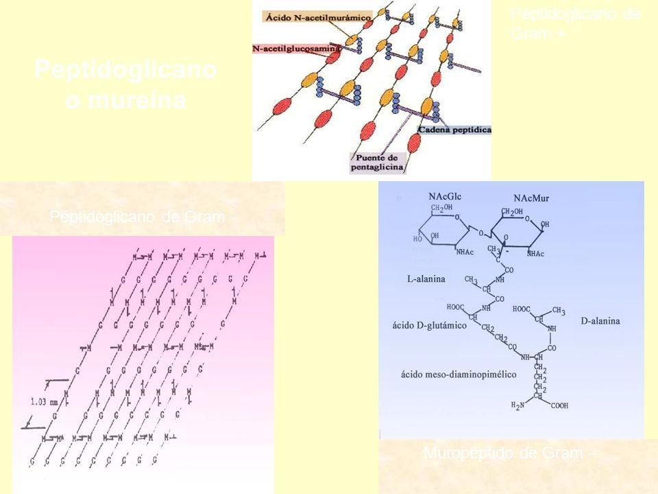 Muropéptido de Gram – Péptidoglicano de Gram - Péptidoglicano de Gram + Peptidoglicano o mureína