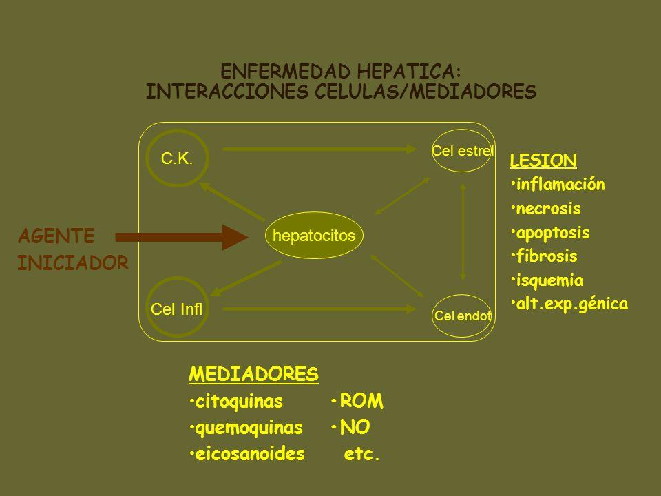 hepatocitos C.K. hepatocitos AGENTE INICIADOR ENFERMEDAD HEPATICA: INTERACCIONES CELULAS/MEDIADORES Cel Infl Cel estrel Cel endot MEDIADORES citoquina