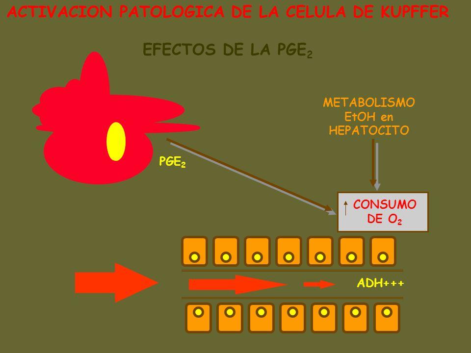 ACTIVACION PATOLOGICA DE LA CELULA DE KUPFFER EFECTOS DE LA PGE 2 CONSUMO DE O 2 METABOLISMO EtOH en HEPATOCITO PGE 2 ADH+++