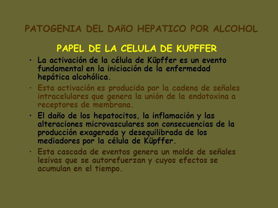 PAPEL DE LA CELULA DE KUPFFER La activación de la célula de Küpffer es un evento fundamental en la iniciación de la enfermedad hepática alcohólica. Es