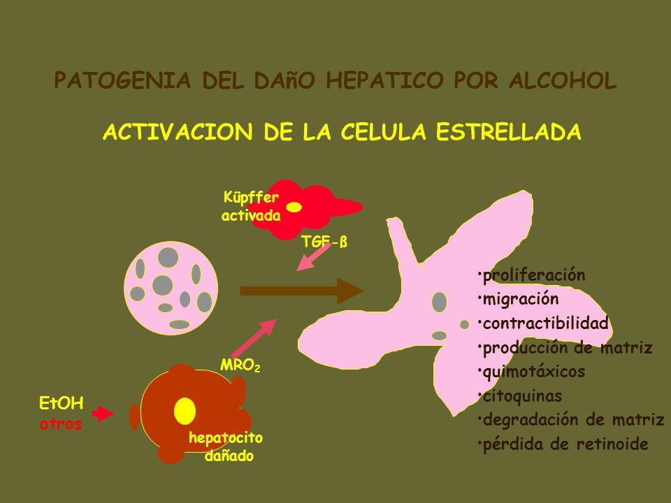 ACTIVACION DE LA CELULA ESTRELLADA hepatocito dañado Küpffer activada proliferación migración contractibilidad producción de matriz quimotáxicos citoq