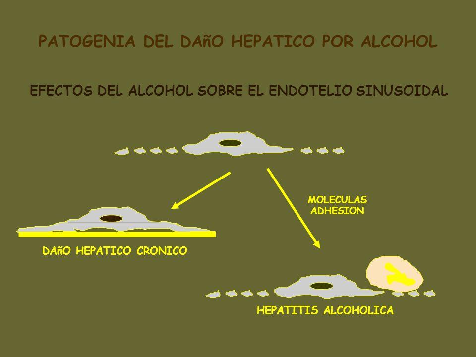 EFECTOS DEL ALCOHOL SOBRE EL ENDOTELIO SINUSOIDAL DAñO HEPATICO CRONICO HEPATITIS ALCOHOLICA MOLECULAS ADHESION PATOGENIA DEL DAñO HEPATICO POR ALCOHO