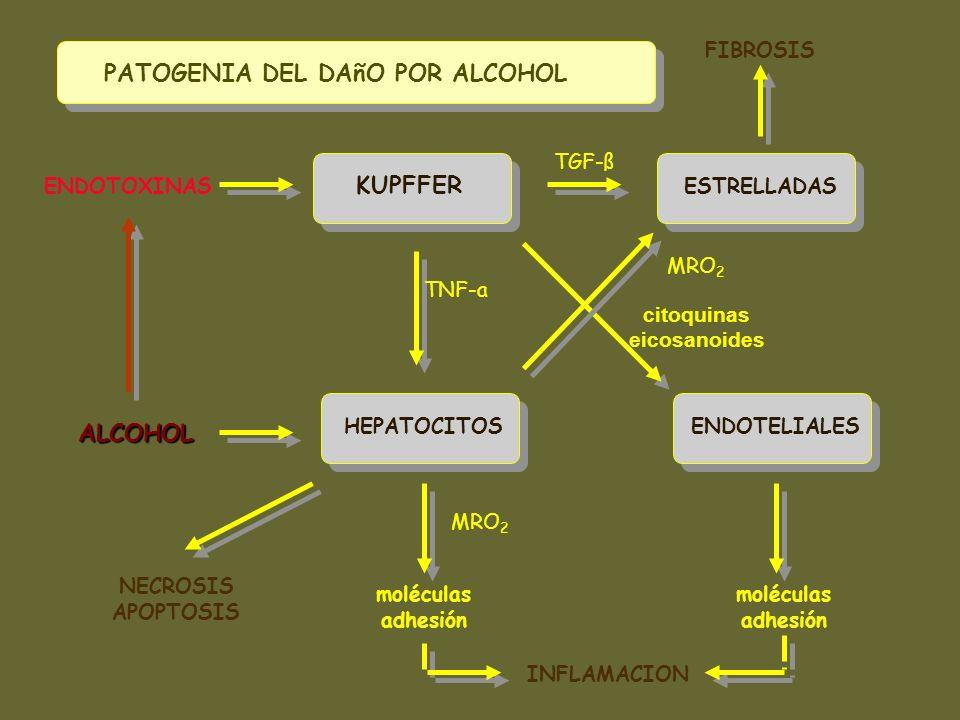 KUPFFER ESTRELLADAS HEPATOCITOSENDOTELIALES ENDOTOXINAS ALCOHOL TGF-ß TNF-a citoquinas eicosanoides INFLAMACION moléculas adhesión moléculas adhesión