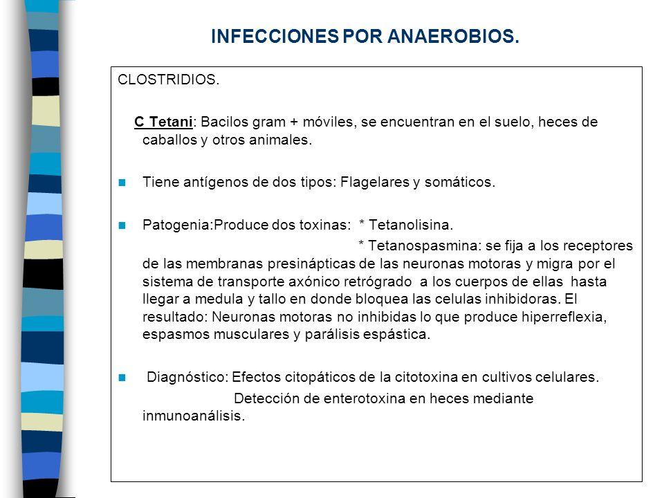 INFECCIONES POR ANAEROBIOS. CLOSTRIDIOS. C Tetani: Bacilos gram + móviles, se encuentran en el suelo, heces de caballos y otros animales. Tiene antíge