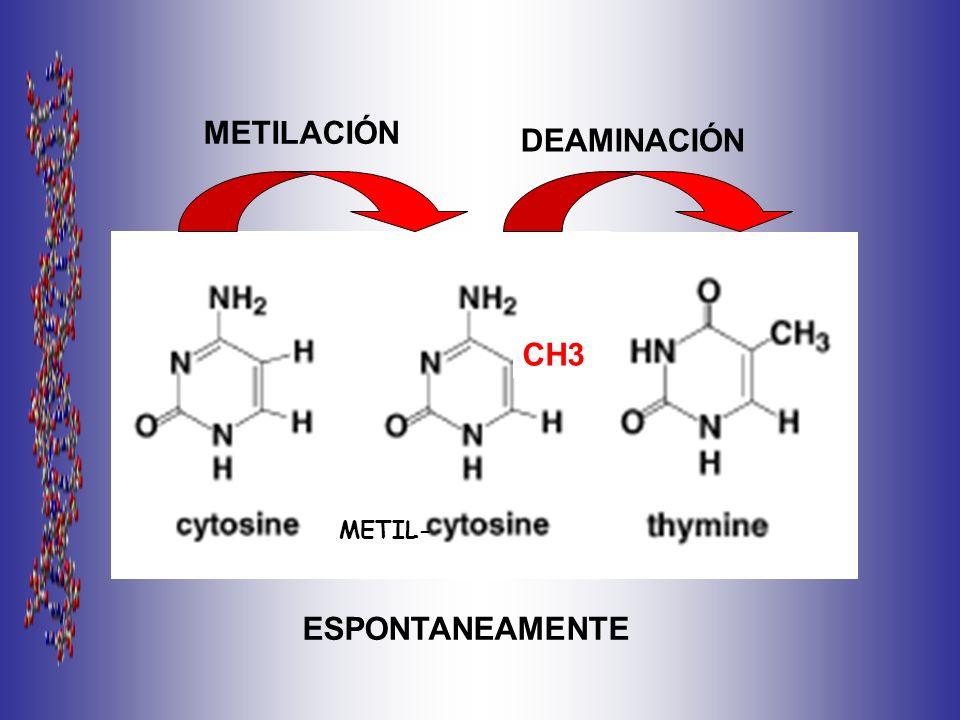 CH3 METIL- METILACIÓN DEAMINACIÓN ESPONTANEAMENTE