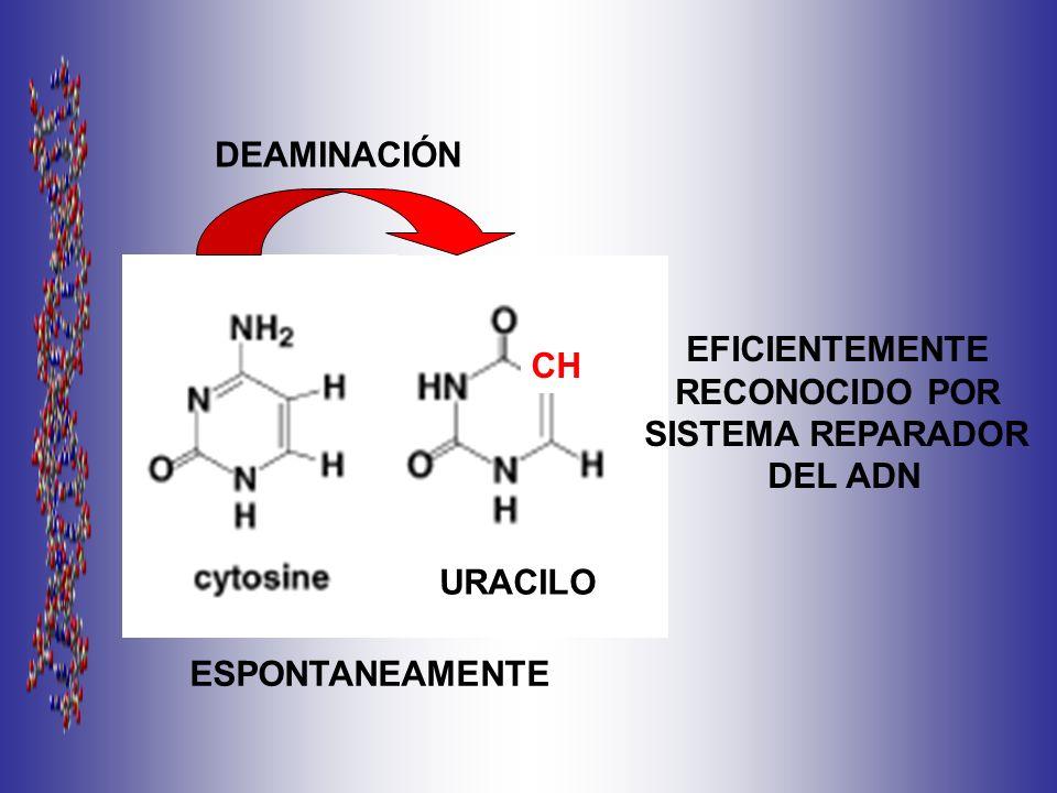 DEAMINACIÓN ESPONTANEAMENTE CH URACILO EFICIENTEMENTE RECONOCIDO POR SISTEMA REPARADOR DEL ADN