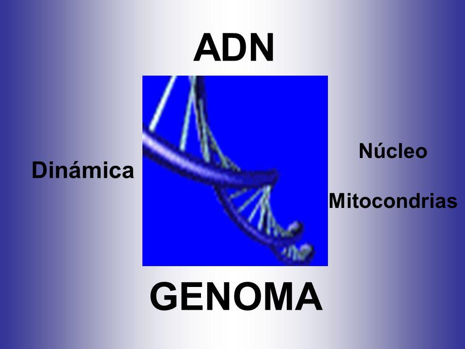 ADN Dinámica Núcleo Mitocondrias GENOMA