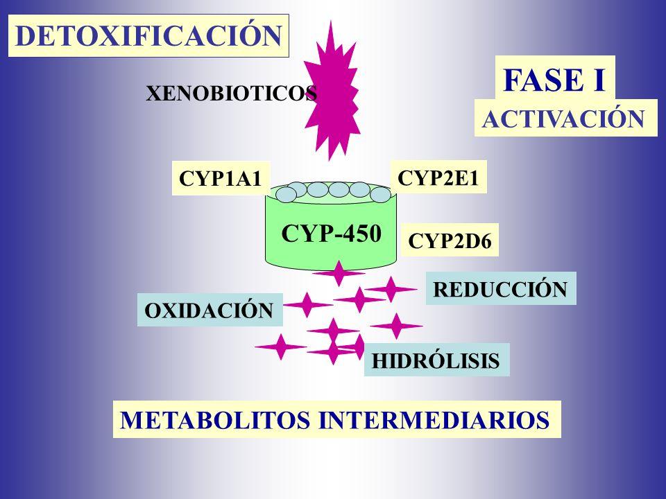 XENOBIOTICOS FASE I CYP-450 OXIDACIÓN REDUCCIÓN HIDRÓLISIS CYP1A1 CYP2E1 CYP2D6 DETOXIFICACIÓN ACTIVACIÓN METABOLITOS INTERMEDIARIOS