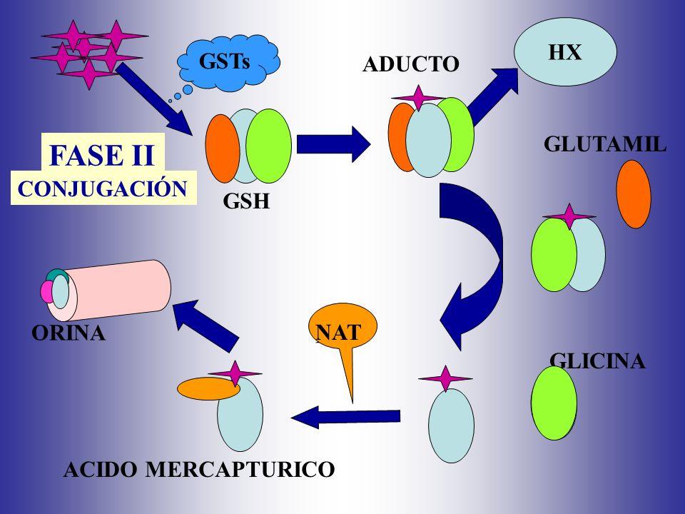 HX GSTs GSH ADUCTO NAT GLUTAMIL GLICINA ACIDO MERCAPTURICO NAT ORINA FASE II CONJUGACIÓN