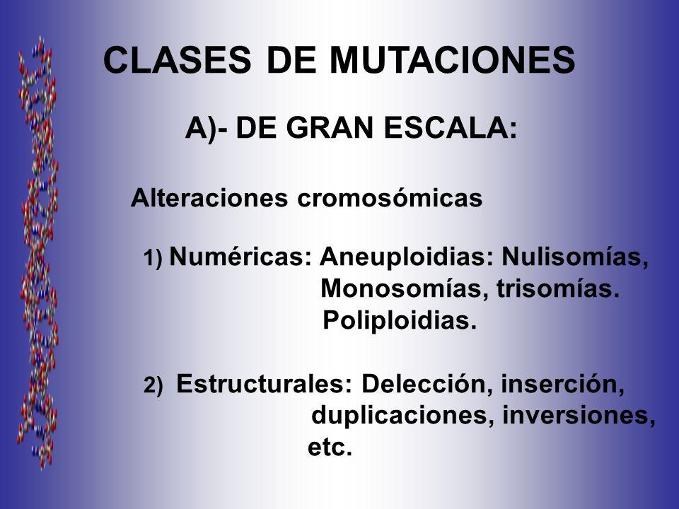 CLASES DE MUTACIONES A)- DE GRAN ESCALA: Alteraciones cromosómicas 1) Numéricas: Aneuploidias: Nulisomías, Monosomías, trisomías.
