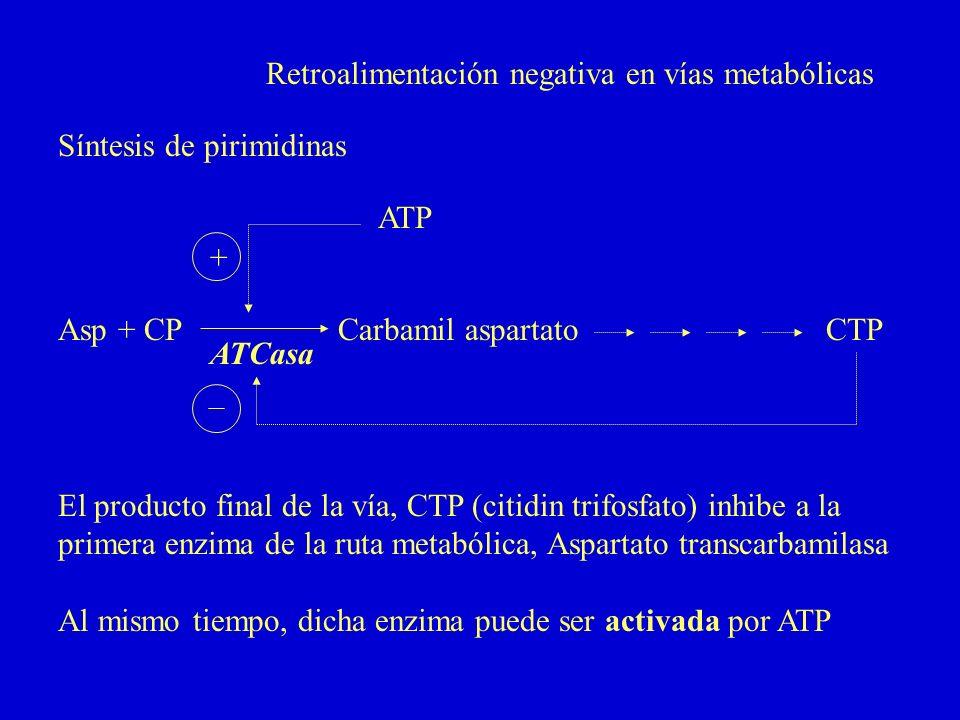 Retroalimentación negativa en vías metabólicas Asp + CPCarbamil aspartatoCTP Síntesis de pirimidinas ATCasa El producto final de la vía, CTP (citidin