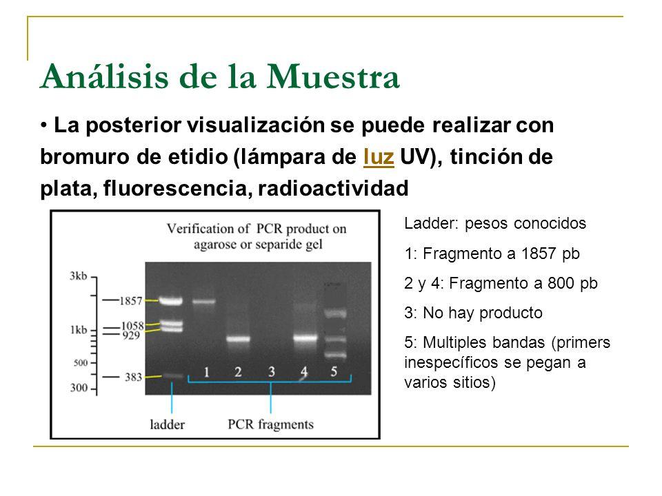 Análisis de la Muestra La detección del producto de la PCR se realiza normalmente mediante corrido electroforético. Dependiendo del tamaño de la ampli